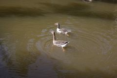 Gässen simmar i sjön arkivfoto