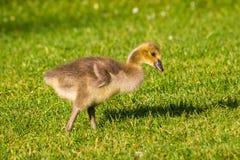Gässling i gräset - en nyfödd Kanada gås Arkivfoton