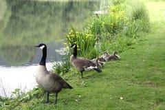 Gässlingar med föräldrar på dammet Royaltyfria Bilder