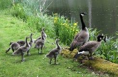 Gässlingar med föräldrar på dammet Royaltyfri Foto