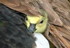 Gässlingen visas från den skyddande vingen för moder` s royaltyfri foto