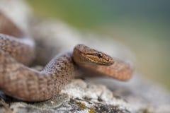 Gładzi węża, Coronella austriaca w republika czech, zdjęcie stock