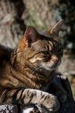 Głowa brązu, imbirowego i czarnego pasiasty kot odpoczywa w słońcu, fotografia royalty free
