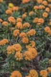 15/5000 GÅ  ngyuà ¡ n nèi jú huà ¡ ngsè De xiÇŽohuÄ , bèijÇ  ng, shà ¹ fú Pomarańczowy kwiat w parku, tło, pionowo obrazy stock