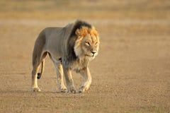 Gå afrikansk lion royaltyfria bilder