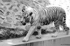 Gå av kunglig tiger royaltyfri fotografi