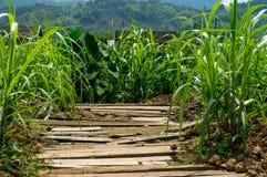 Gå bana mellan en risfält i Asien arkivbild