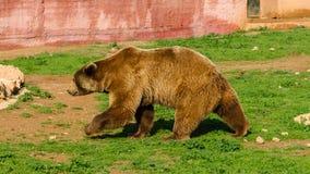 Gå brunbjörnen Royaltyfria Bilder