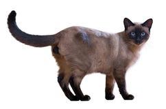Gå den siamese katten Royaltyfri Foto