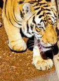 Gå det manliga tigerhuvudskottet Arkivfoton