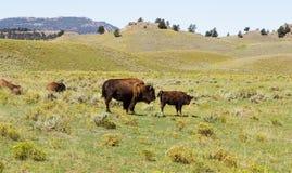 gå för bison Yellowstone nationalpark WY USA Arkivfoto