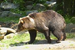 Gå för björn Arkivbild