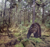 Gå för brunbjörn royaltyfri fotografi