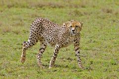 gå för cheetah Royaltyfria Foton