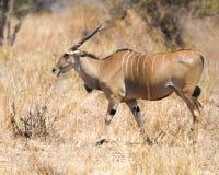 Gå för eland Arkivfoto
