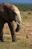 Gå för elefant Fotografering för Bildbyråer