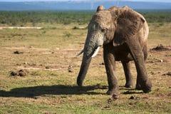 Gå för elefant Arkivfoto