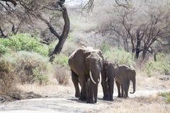 Gå för familj för afrikansk elefant Arkivfoton