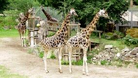 Gå för familj för vilda djur för rothschildi för camelopardalis för Baringo giraffgiraffa lager videofilmer