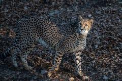 Gå för gepard Royaltyfri Fotografi