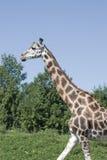 gå för girafe arkivfoto
