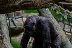 Gå för gorilla Royaltyfri Bild
