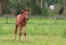 Gå för hästföl Arkivbilder