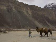 gå för kamel Royaltyfri Foto