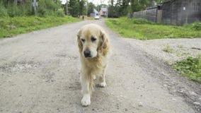 Gå för labradorhund som är utomhus- arkivfilmer