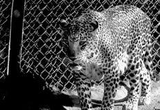 gå för leopard royaltyfria foton