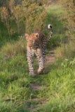 gå för leopard royaltyfri fotografi