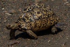 Gå för leopardsköldpadda (sköldpadda) royaltyfri bild