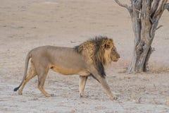 gå för lion Fotografering för Bildbyråer