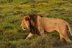 Gå för Lion Royaltyfri Foto