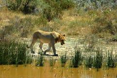 gå för lionessflod Royaltyfria Foton
