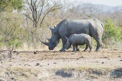 Gå för noshörning och för kalv royaltyfria bilder