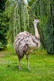 gå för ostrich Royaltyfri Fotografi