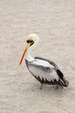 gå för pelikan Fotografering för Bildbyråer