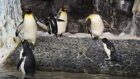 Gå för pingvin och rörande vingar i Antarktis område på Seaworld arkivfilmer