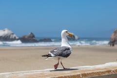 Gå för seagull arkivfoto