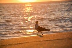 Gå för Seagull, resningsolen och sol- bana på vatten på Praia Vermelha arkivfoton