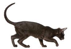 gå för shorthair för 5 kattungemånader gammalt orientaliskt Royaltyfri Bild