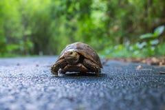 Gå för sköldpadda Fotografering för Bildbyråer
