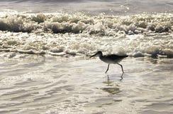 gå för strandsandpiper Arkivbilder