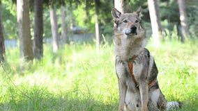 gå för valp för äng för beaglehundgreen sittande arkivfilmer