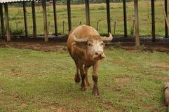 Gå för vattenbuffel Royaltyfri Bild