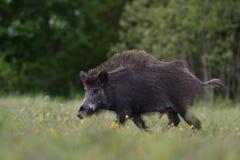 Gå för vildsvin Fotografering för Bildbyråer