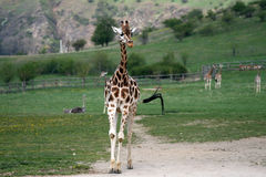 Gå giraffet i en zoo Royaltyfri Fotografi