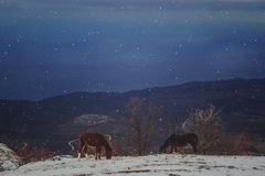 Gå hästar i bergen royaltyfri bild