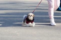 Gå hunden Fotografering för Bildbyråer